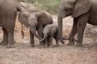 tanzania-babyelephants