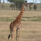 tanzania-giraffe