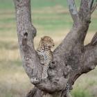 tanzania-leopard