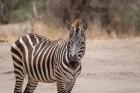 tanzania-zebra